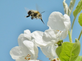 l'abeille butinant dans le parc André Citroën.JPG
