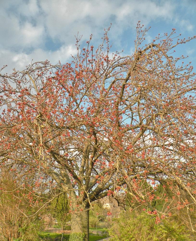 Cerisier fleurs du japon