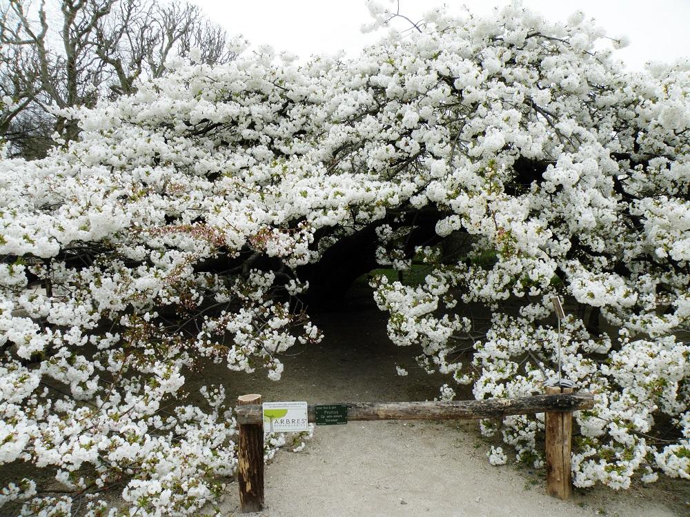 Cerisier Prunus
